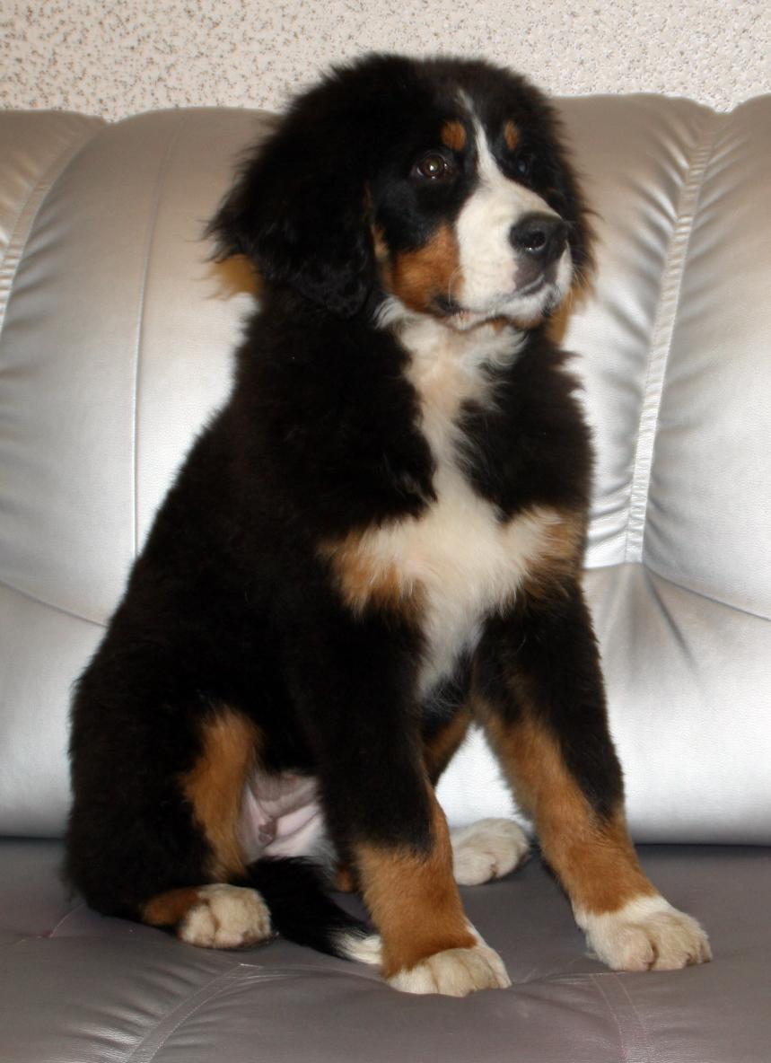 зенненхунд бернский щенок фото
